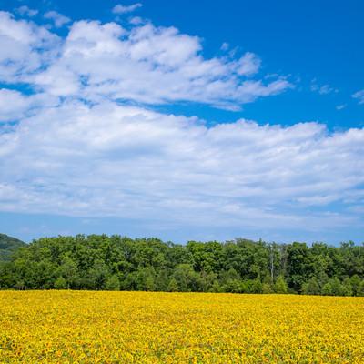 一面に広がる大曲湖畔(網走)のひまわり畑の写真