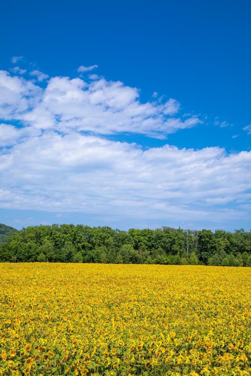 「一面に広がる大曲湖畔(網走)のひまわり畑」の写真