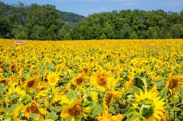 夏の日差しを浴びるヒマワリ達の写真