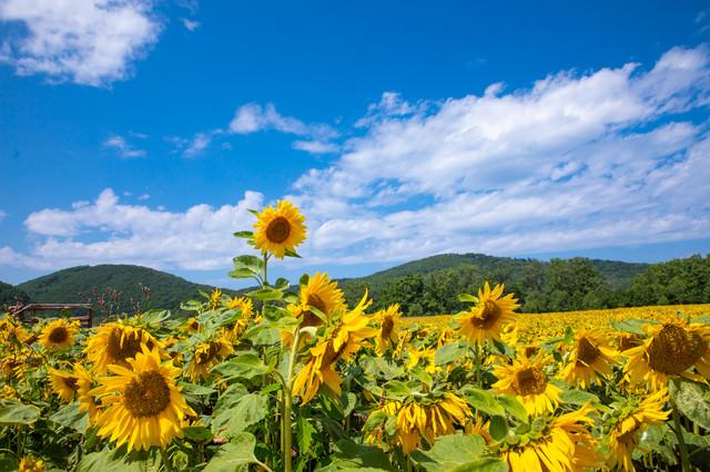 夏日でへたる向日葵の写真