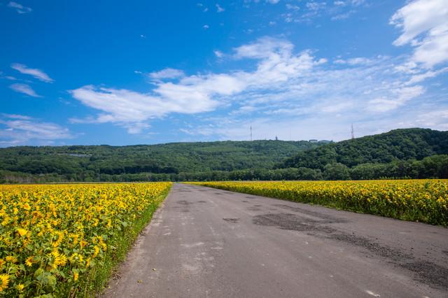 ヒマワリ畑の間を通る道路の写真