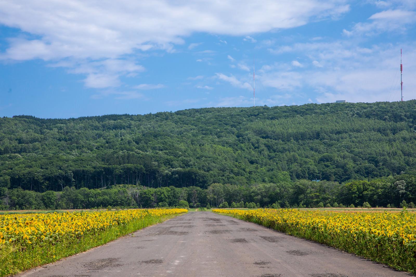 「道路沿いのヒマワリ畑」の写真