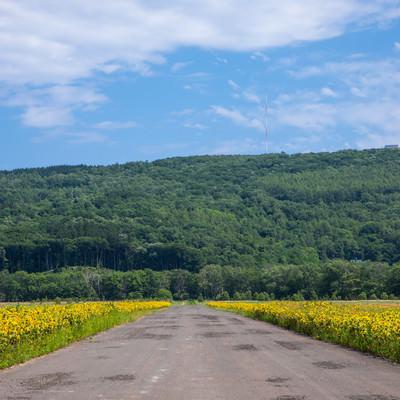 道路沿いのヒマワリ畑の写真