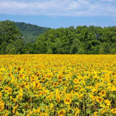 夏の向日葵畑の写真