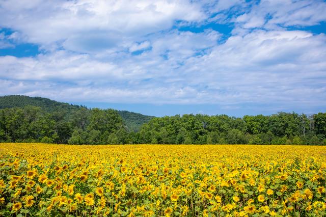 夏休みに来たヒマワリ畑の写真
