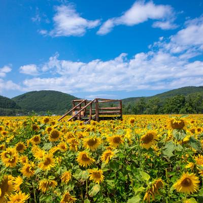ひまわり畑と見晴台の写真