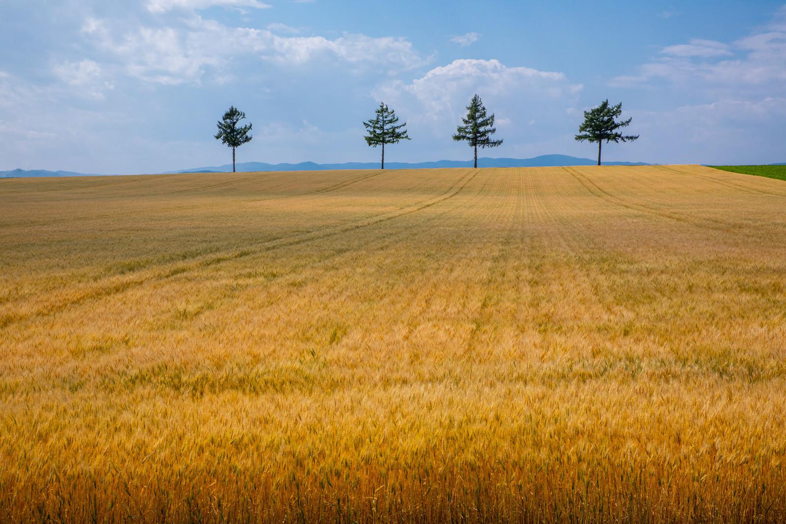 「広がる麦畑」の写真