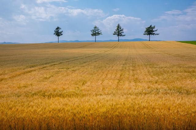 広がる麦畑の写真