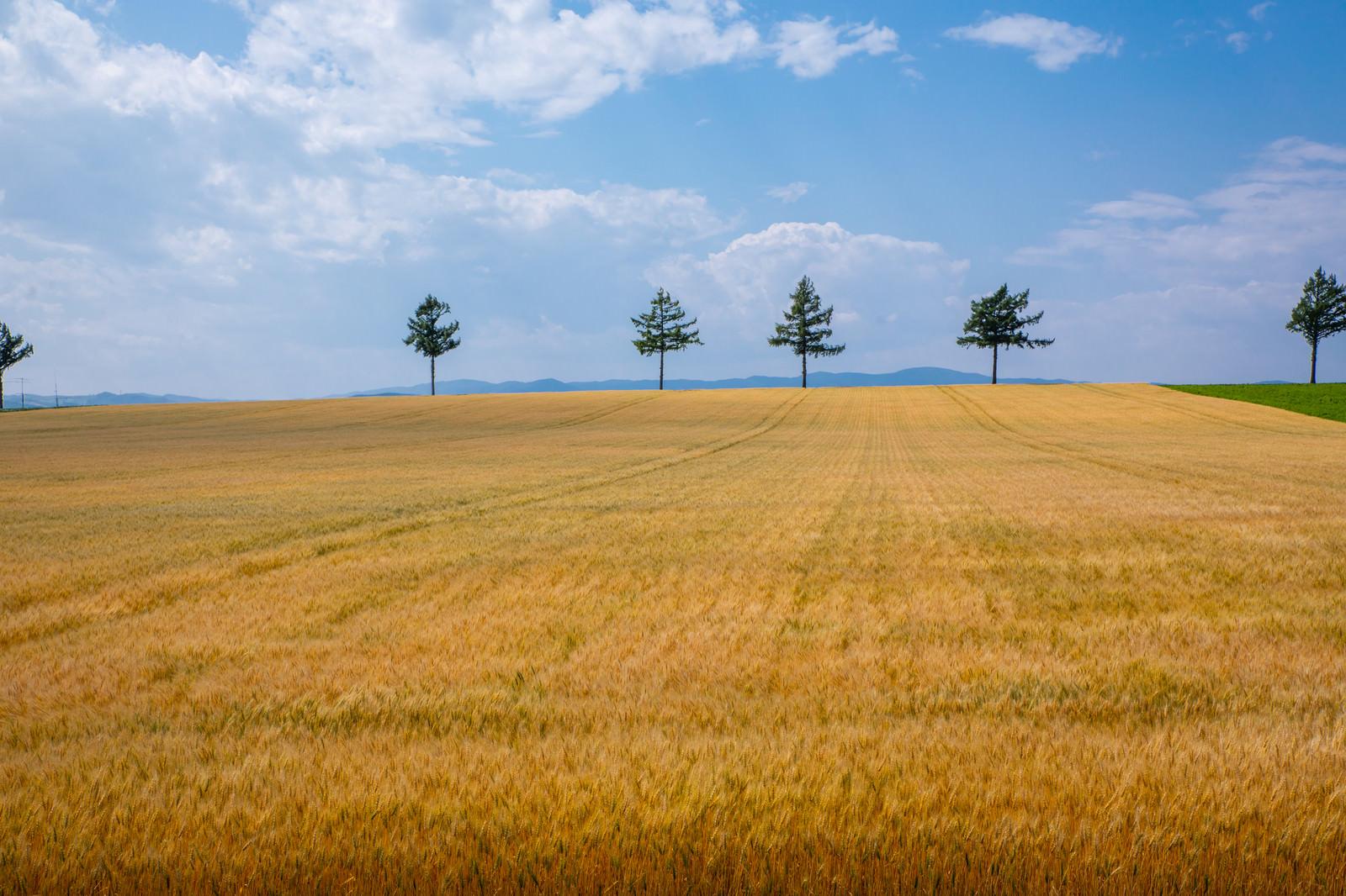 「果てしなく続く小麦畑」の写真