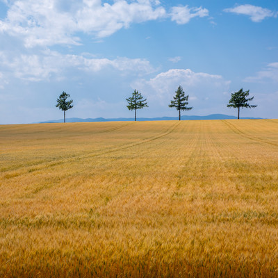 果てしなく続く小麦畑の写真