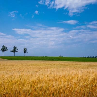 初夏の麦秋の写真