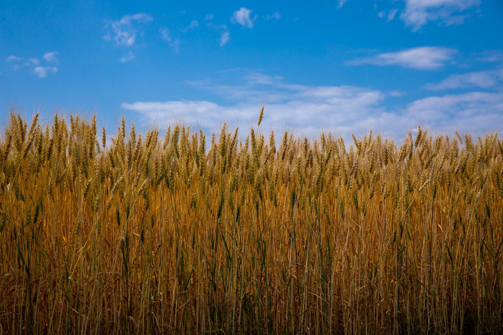 「青空と麦の穂」の写真