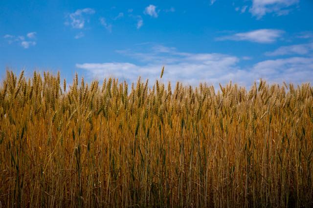 青空と麦の穂の写真