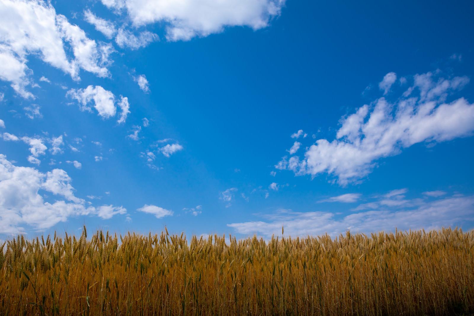 「青い空と大麦畑」の写真