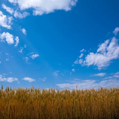 青い空と大麦畑の写真