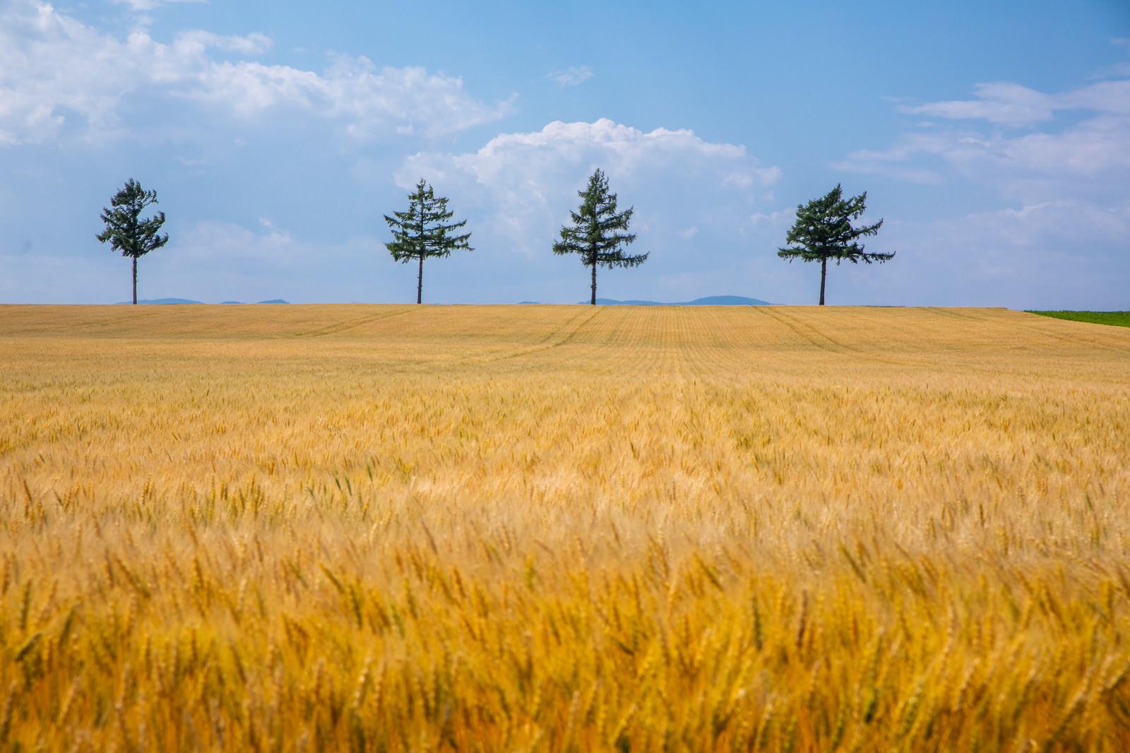 「黄金色に染まる麦畑」の写真