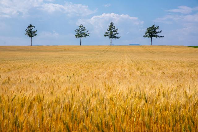 黄金色に染まる小麦畑の写真