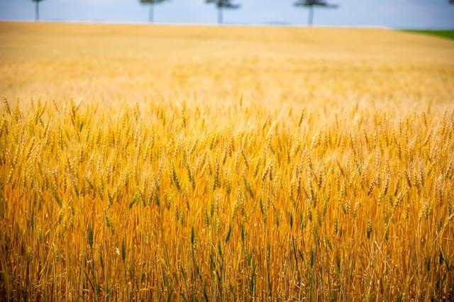 黄金色に輝く麦の写真