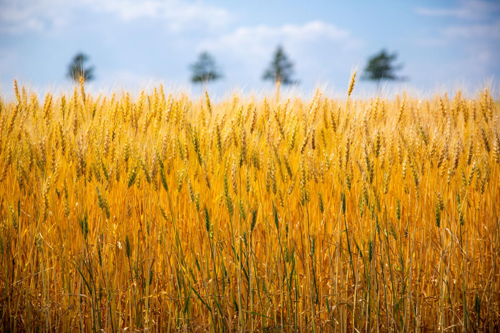 「黄金色に揺れる大麦畑」の写真