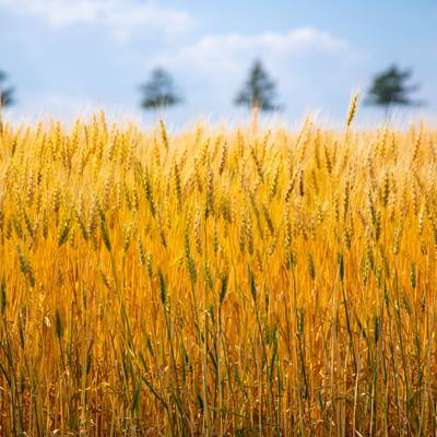 黄金色に揺れる大麦畑の写真