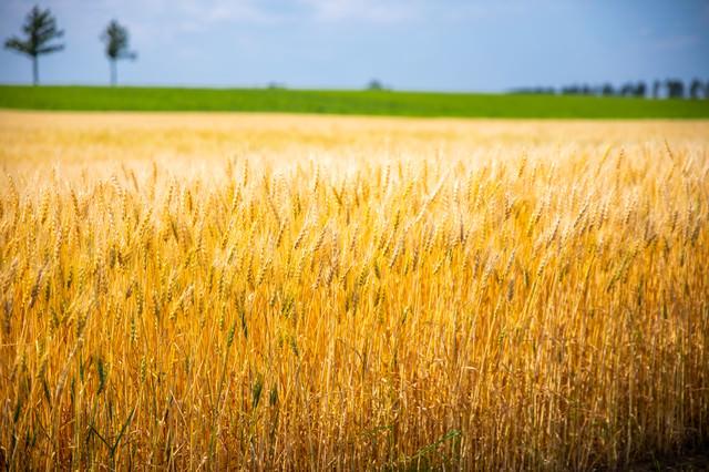 黄金色の小麦畑の写真