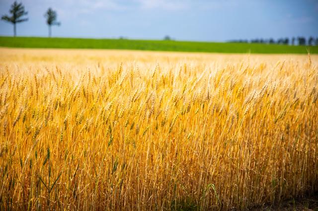 黄金色に穂を揺らす麦畑の写真