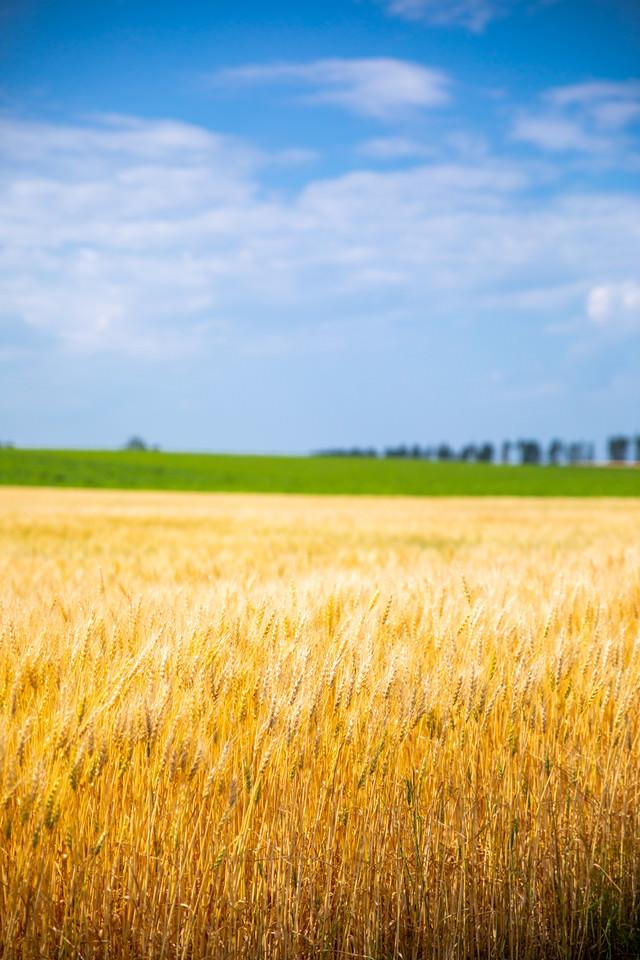 広大な大地と黄金色の麦畑の写真