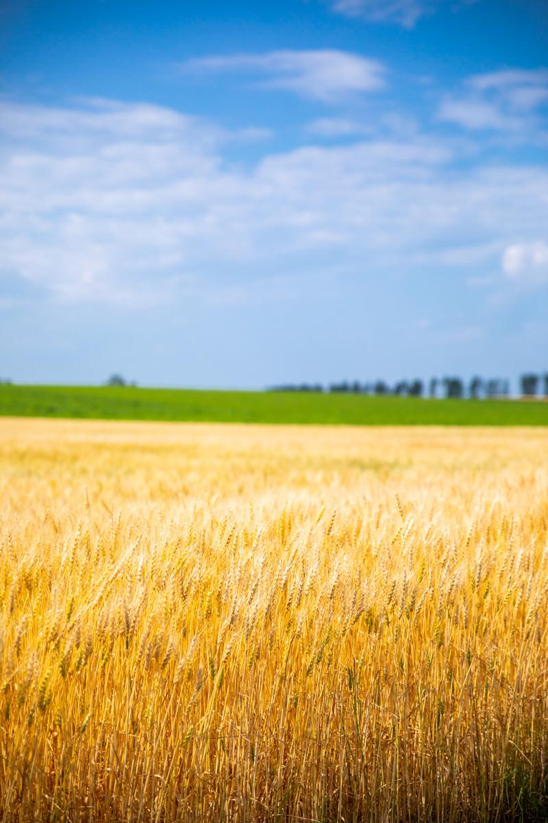 「広大な大地と黄金色の麦畑」の写真