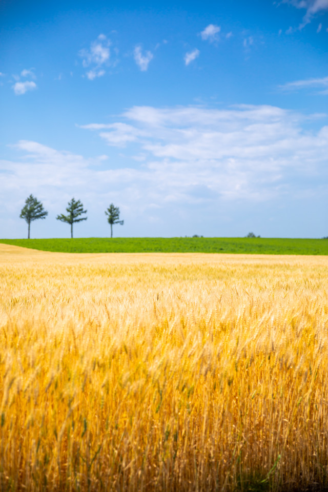 収穫期を迎える小麦畑の写真