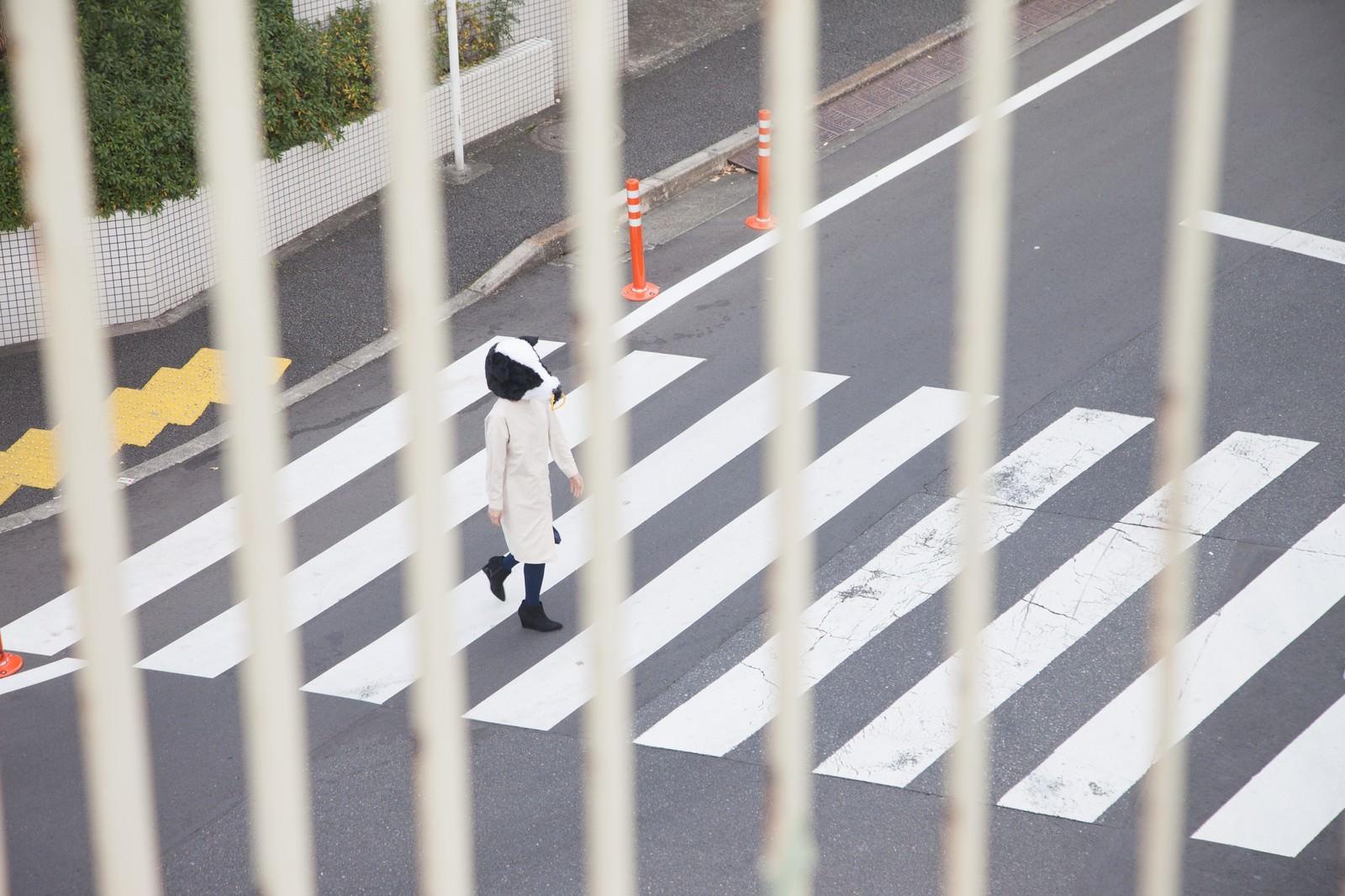 「スクープ!横断歩道を渡る牛」の写真[モデル:古性のっち]