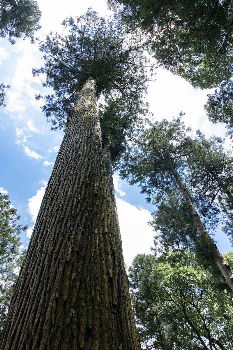 「背の高い木を見上げる」の写真