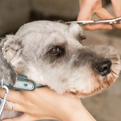 「犬(Mシュナ)の眉カット」の写真素材