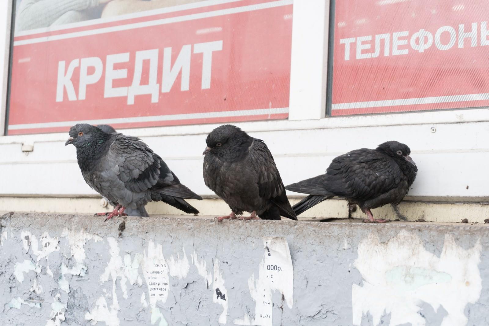 「厚みが違うロシアの鳩」の写真