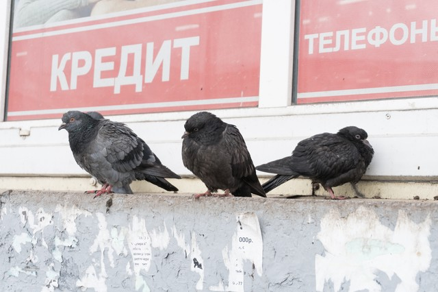 厚みが違うロシアの鳩の写真
