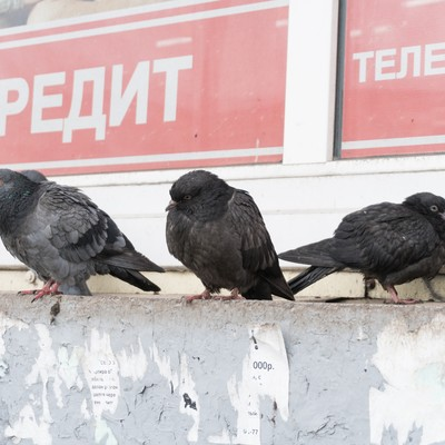 「厚みが違うロシアの鳩」の写真素材