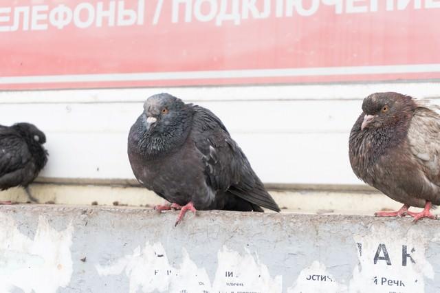 極寒の地を生き抜く鳩の写真