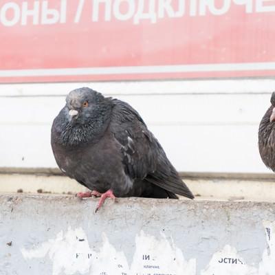 「極寒の地を生き抜く鳩」の写真素材