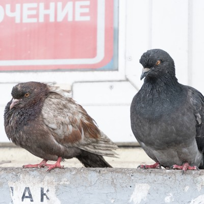 「ものすごい殺気の鳩」の写真素材