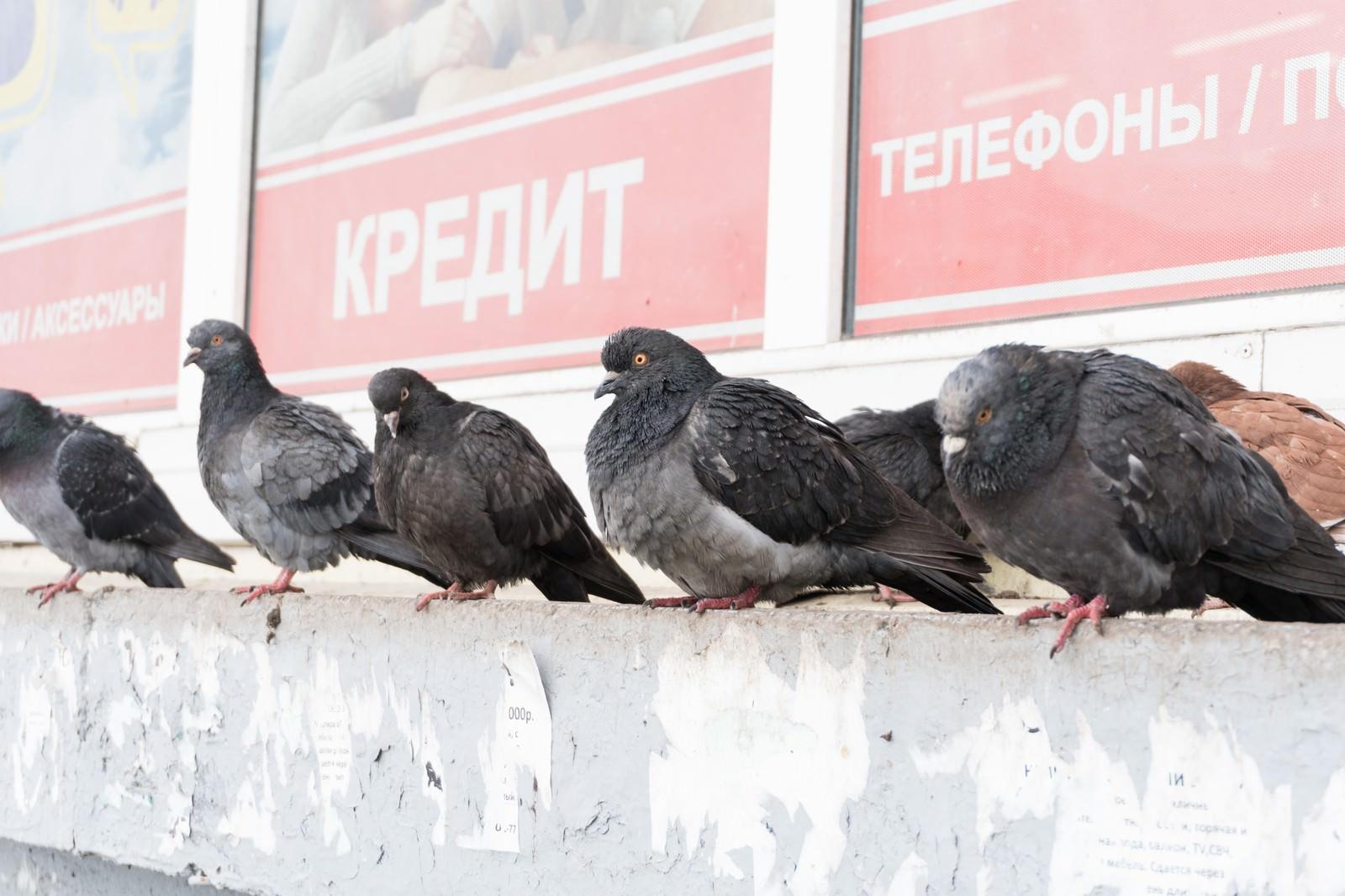 「たくましく生きる鳩」の写真