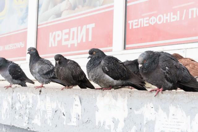 たくましく生きる鳩の写真