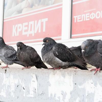 「たくましく生きる鳩」の写真素材