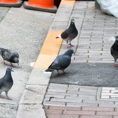「生ごみの日に集まってきた日本の鳩」の写真素材