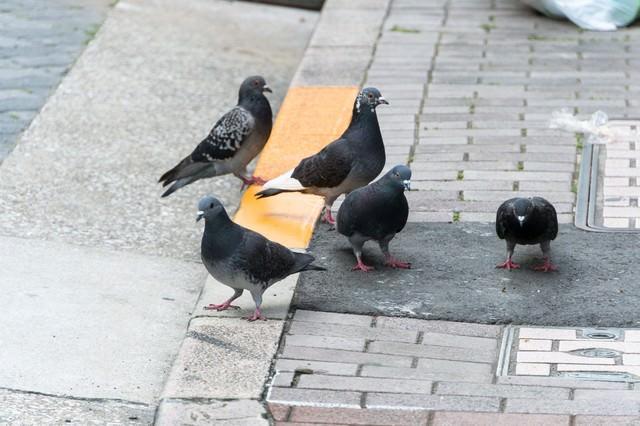雑食のハト達の写真