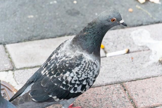 目を丸くする鳩の写真