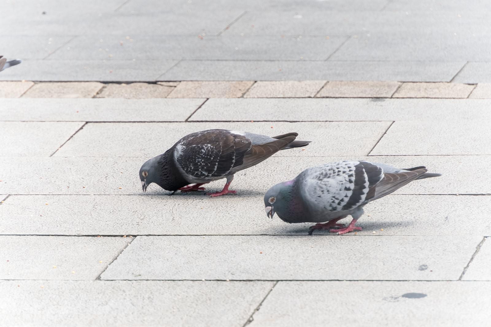 「鳩まっしぐら」の写真