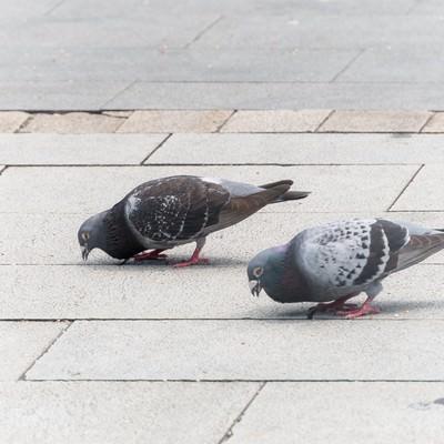 「鳩まっしぐら」の写真素材
