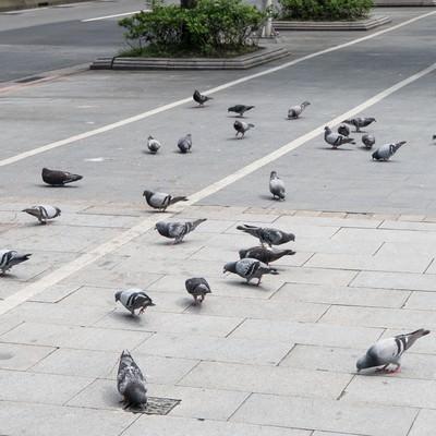1匹に餌を与えたら鳩が集まってきたの写真