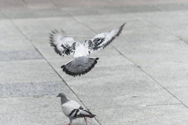 意外と警戒感が強い鳩(バッサー)の写真