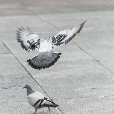 「意外と警戒感が強い鳩(バッサー)」の写真素材