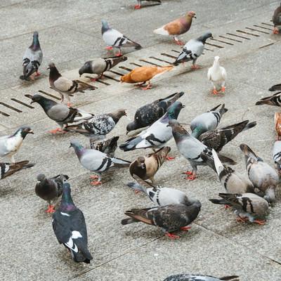 鳩集団の写真